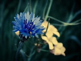 The Cornflower by FreeForms