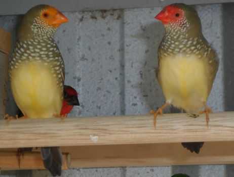 my star finches by inkcat