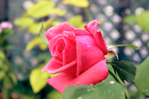 Flowers: Rose 5 by Abletodoall