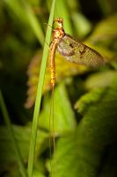 Mayfly by carlahoon