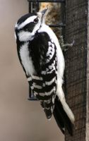 Hairy Woodpecker 1 by natureguy