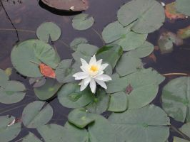 water Lily by lockstock