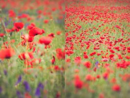 Wild poppies by ferrohanc