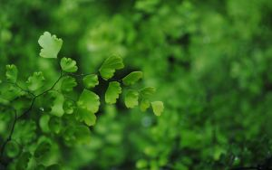 Maidenhair Fern by nkear5