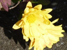 yellow Blossum by LW-Lucy