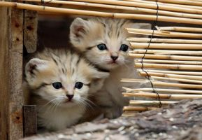 Baby Sand Cats by ilovelost456