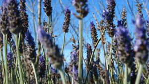 Never-ending Lavender fields by Madi-Gascarr