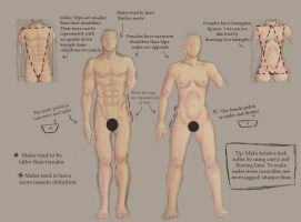 Male vs Female Anatomy by foreverfornever740