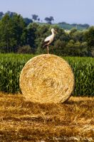 stork in Austria by brijome