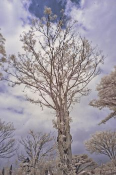 just some trees (IR) by PonoPPhotograPh