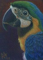 Blue MaCaw - my version by Miss-A-sketches