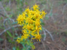 Yellow Cluster by willow1894