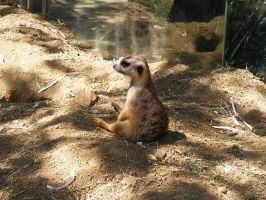 Meerkat Stock 1 by Arghel