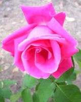 Pink Rose by Ronron84