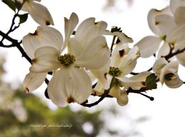 Divine Dogwood by druideye