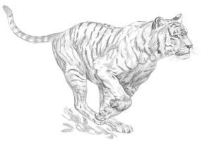 tiger drawing by pencilmaster14