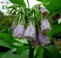 Comfrey Flowers by BreeSpawn