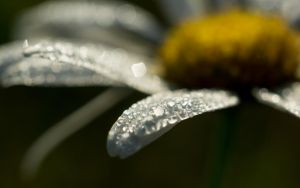 Summer 32 daisy by Henrikson