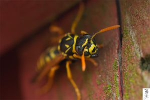 Paper Wasp staredown by The-Dude-L-Bug