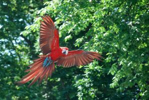 greenwing macaw 1.2 by meihua-stock