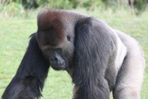 00254 - Stooped Gorilla Closeup by emstock
