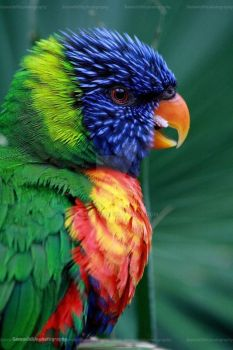 Rainbow Lorikeet by Sam2103