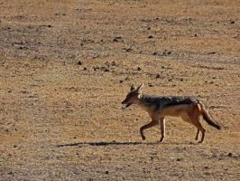 Black-Backed Jackal II by Track-Maidens