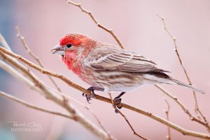 .:Backyard Finch II:. by RHCheng