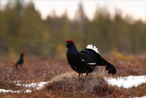 Black Grouse 3 by Starfall00