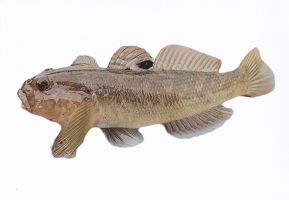 Invasive fish the round goby also in art a nice fi by slingeraar