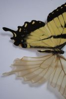 Skeletoized Swallowtail by TheButterflyBabe