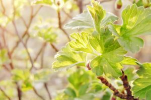 Gooseberry leaves by rosaarvensis