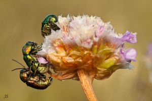 3 beetles on a flower by JS2010