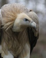 Griffon Vulture by Parides