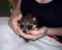 Baby Raccoon- Eyes Open by TheCopperDragon2004