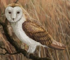 Barn Owl by Leogon