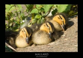 DUCKLINGS.2 by THEDOC4