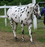 Appaloosa 87 by FantasyDesignStock