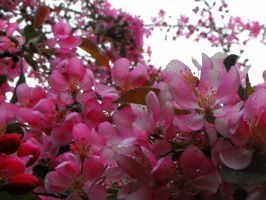 Blossoms by Readmeabook21
