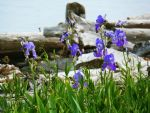 Bearded Irises and Driftwood by xXBlackButlerXx