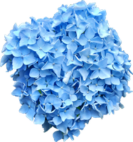 Blue Hydrangea PNG.. by Alz-Stock-and-Art