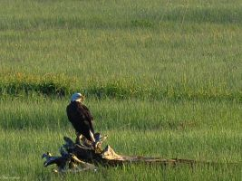 Muddy River Eagle III by Brian-B-Photography