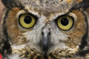 Great Horned Owl by 29cfrun