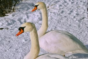 Swans by UdoChristmann