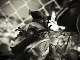 Wilting 01 BW by Lemon-oh