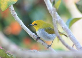 Yellow bird on Flores by AngiWallace