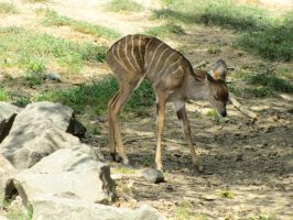 Lesser Kudu Fawn II by DrachenVarg-stock