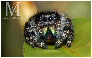 Jumping Spider by microcosmos