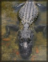 American Alligator 20D0048955 by Cristian-M