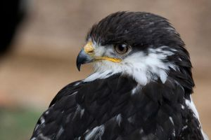 Black-Breasted Snake Eagle by Jay-Co